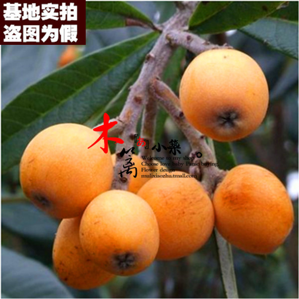 [15] loquat jiefangzhong plantlet belshazzar pipa pipa tree trees flower seedlings garden plants