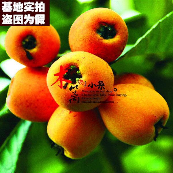 [15] loquat loquat dongting plantlet belshazzar pipa pipa tree trees flower seedlings garden plants