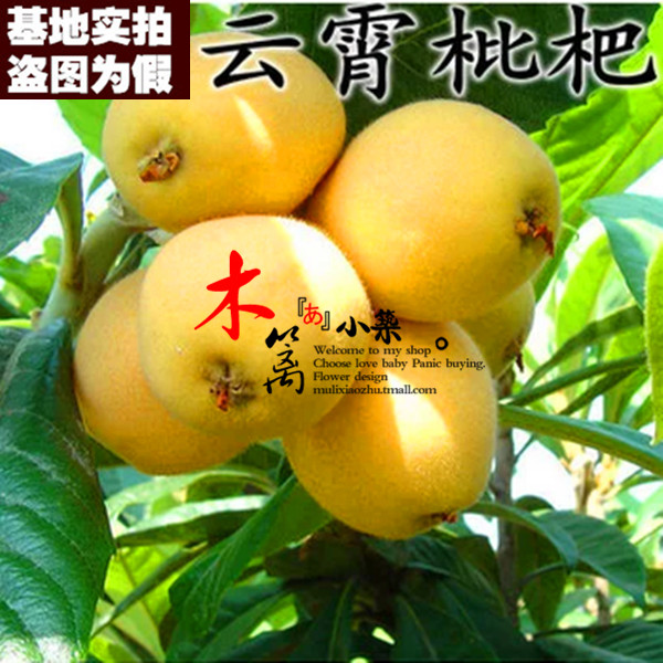 [15] loquat loquat seedlings baisha pipa pipa tree trees flower seedlings garden plants