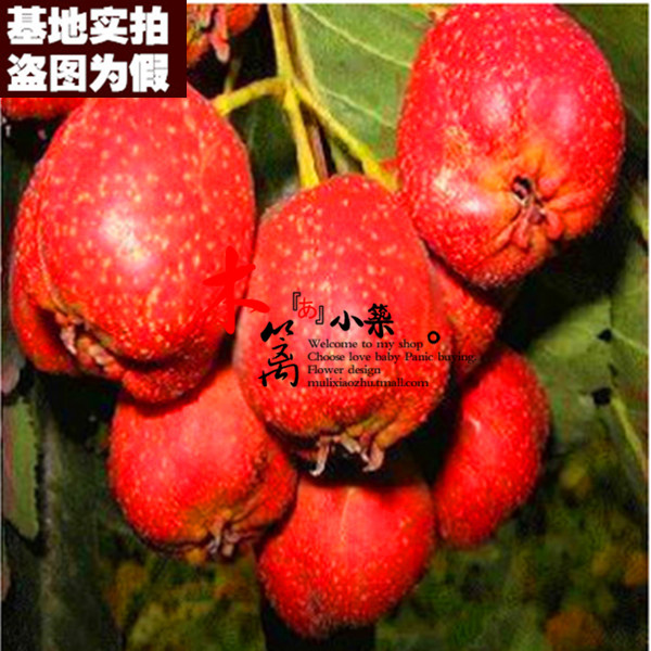[15] potted wuling hawthorn hawthorn trees seedlings hawthorn hawthorn trees planted seedlings hawthorn seedlings grafted fruit tree seedlings