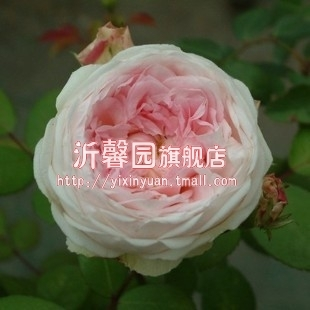 New varieties of fine powder house rose [] very strong fragrance. flower beautiful. real objects shooting