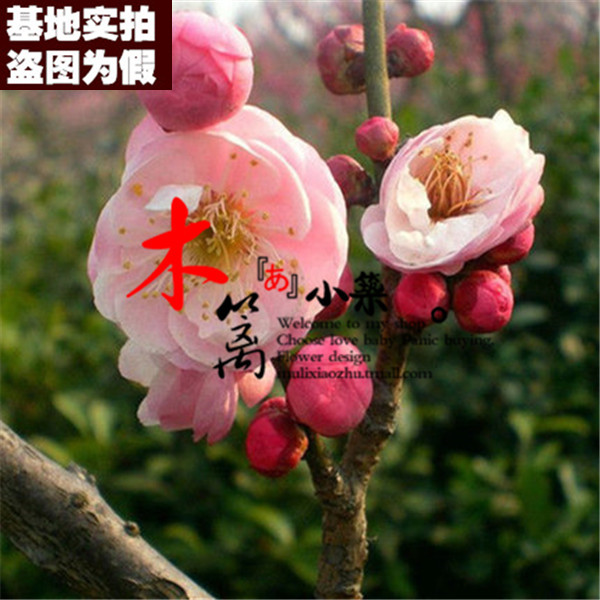 [16] when flowering plum pink palace boutique plum plum seedlings potted seedlings planted courtyard balcony