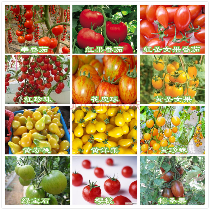 50 5ç²repackaging with red and yellow cherry tomatoes tomato fruit vegetables balcony potted purple holy fruit