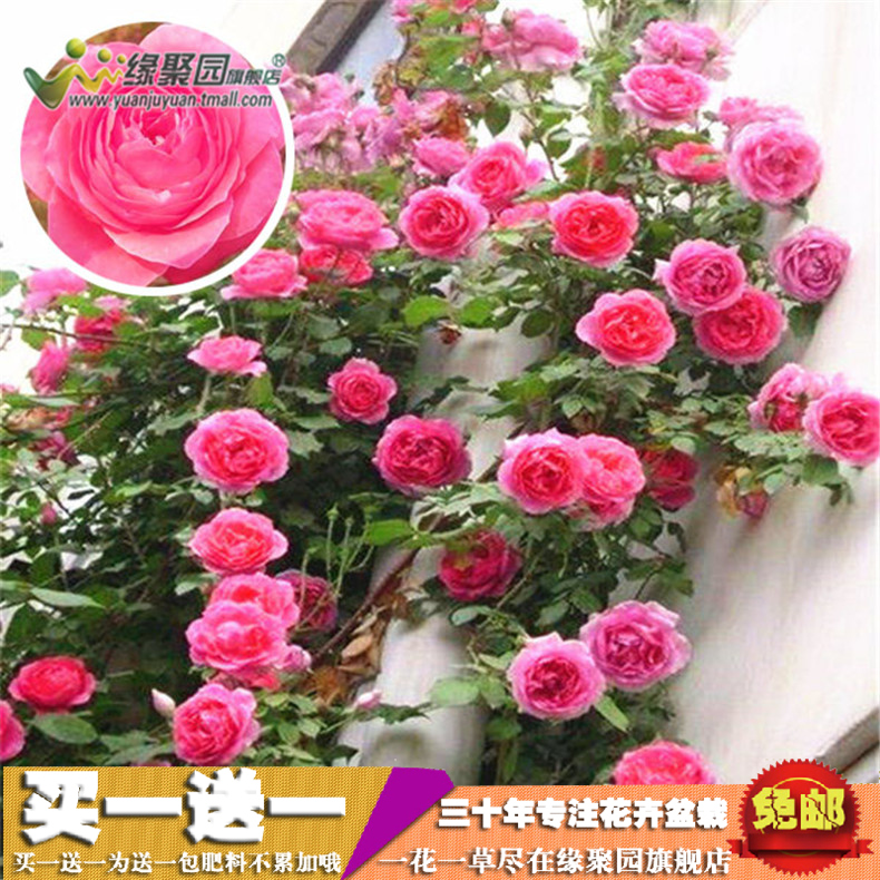 [Angela] rosa multiflora rose saplings climbing climbing roses climbing rose rose rose rose seedlings potted flower plants