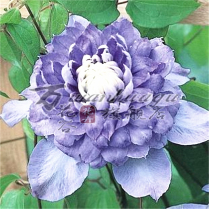 [Blu-ray] clematis species clematis root seedlings courtyard balcony climbing climbing plants flower flowers absorb formaldehyde