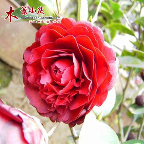 Boutique camellia camellia trees potted fruit tree seedlings planted courtyard balcony fruit tree seedlings [hongxia] lunar new year flower