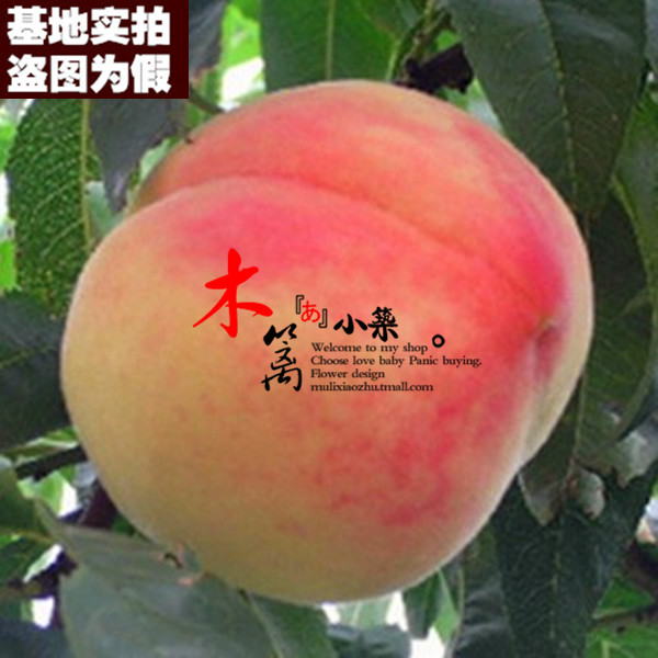 [Cents king 15] potted fruit tree seedlings planted seedlings potted peach trees peach seedlings grafted seedlings nectarine peach seedlings