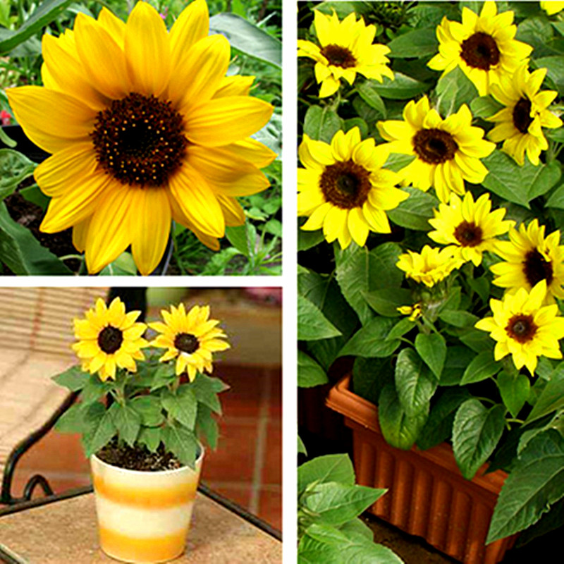 Chung sub balcony garden ornamental sunflower seeds sunflower sunflower long to the teddy bear sunflower sunflower