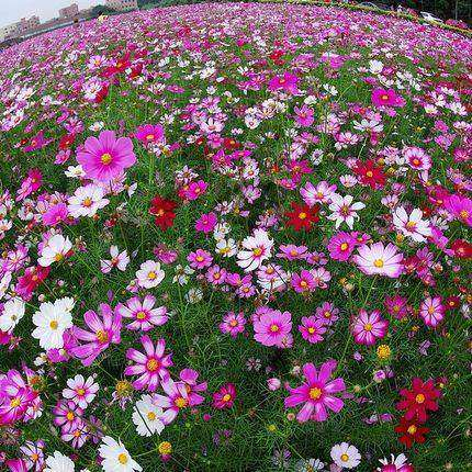 Cosmos seeds gesang wildflowers combination of flower seeds four seasons broadcast potted plants easy to plant seeds gesang