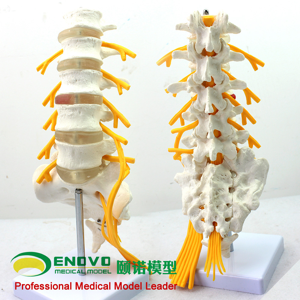 Enovo genuine medical human five lumbar section of the model of the cauda equina sciatic nerve orthopedic spine model mold