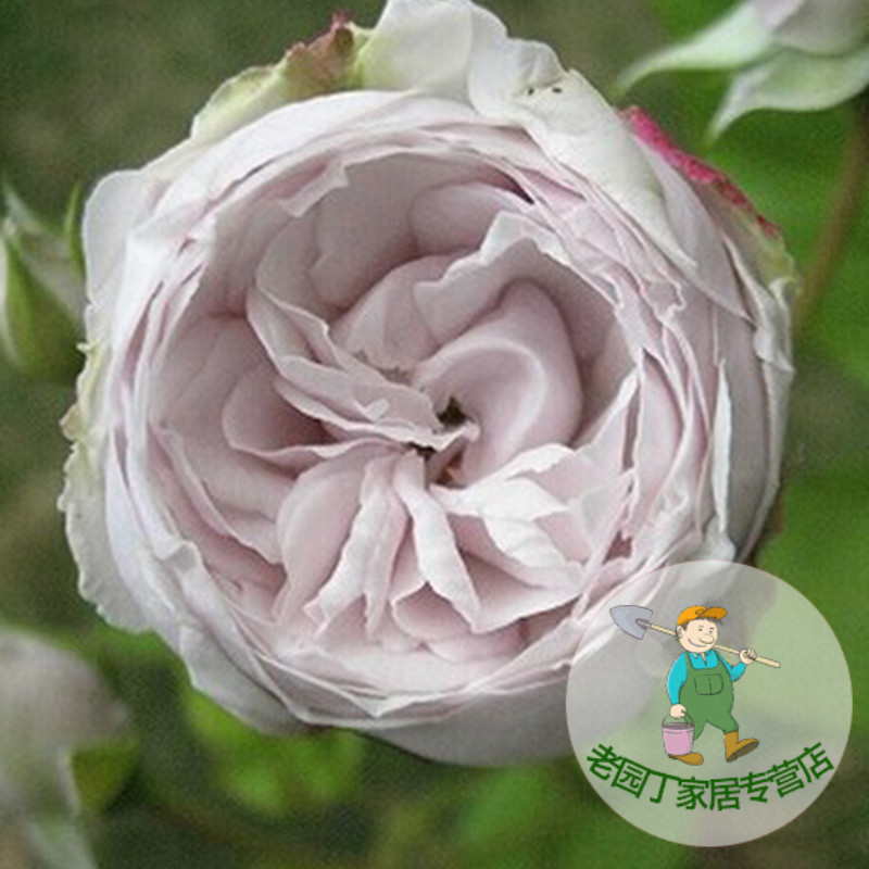 Europe may ground flower bears spend more fragrant rose seedlings potted garden shrub rose rose vine flowers