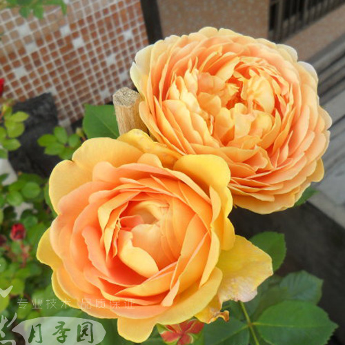 Europe may miao miao spend climbing rose spend climbing rose seedlings seedlings of new european gold celebration series