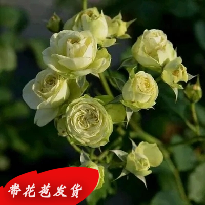 Europe may rose seedlings potted seedlings spend climbing rose seedlings lonza climbing plants flowering cycle of 3 season