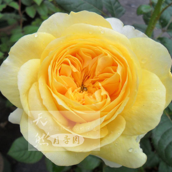 Europe may spend climbing rose seedlings of new perfume rose cut rose seedlings joan of arc cut package