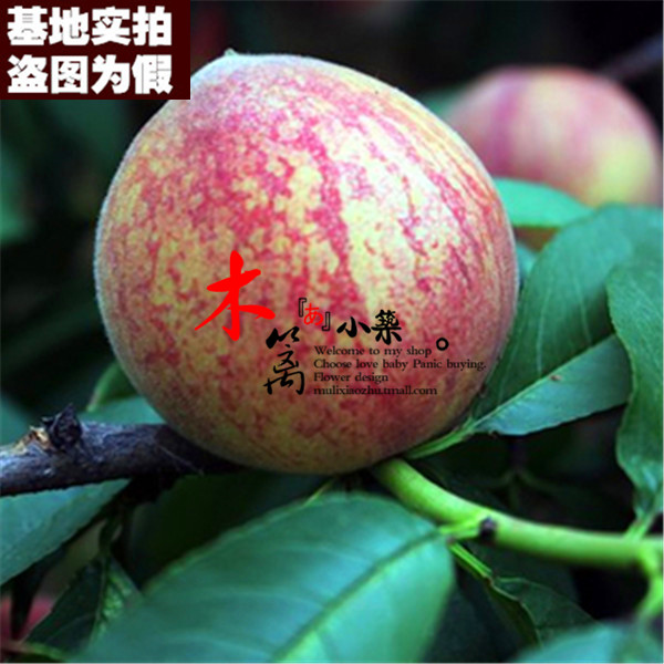 [Flower leather chui 15] potted fruit tree seedlings planted seedlings potted peach trees peach seedlings grafted peach nectarine Plantlet