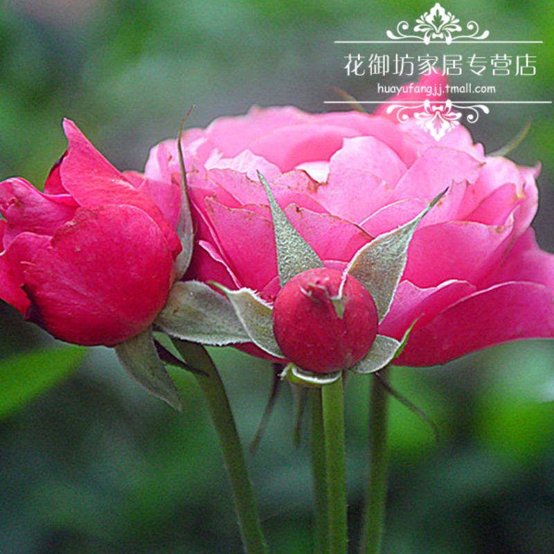 Flowers gobo home franchise stores miniature horse forever jiao lei shrubs cut rose seedlings potted flower garden