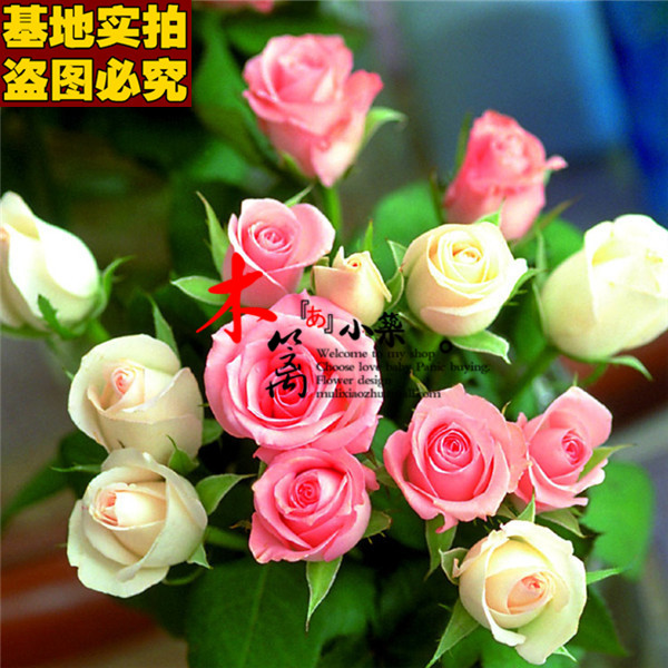 [France big red 16] rose rose flower seedlings potted fruit tree seedlings planted seedlings sowing seasons easy species