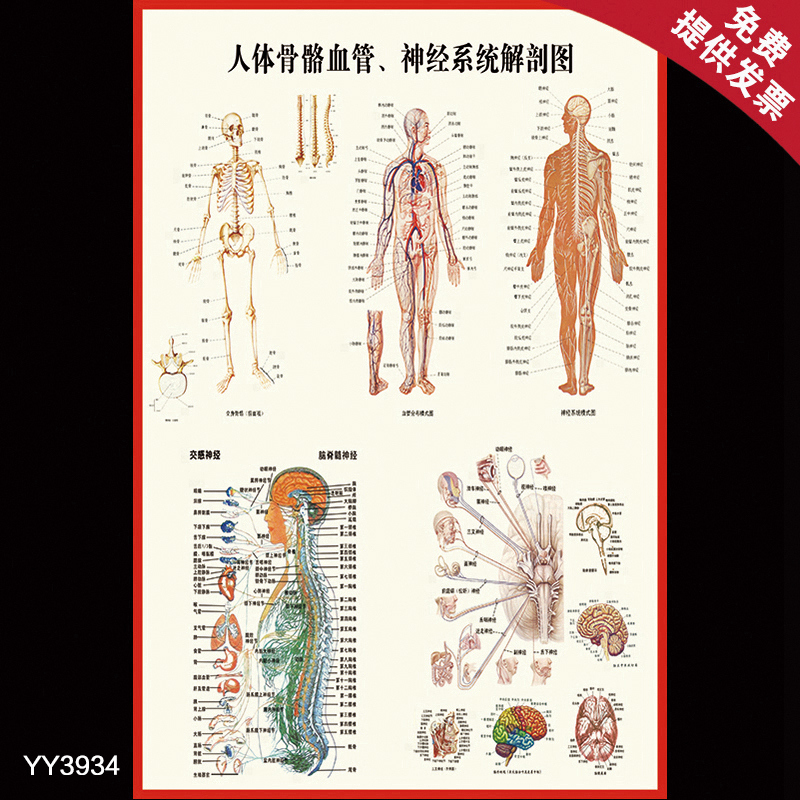 China Human Body Anatomy, China Human Body Anatomy Shopping Guide at ...