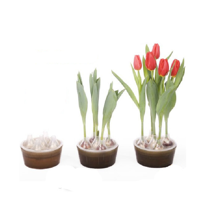 Hydroponic plant flowers tulip big ball flower bulbs hydroponic kit hydroponic pots containing the entire shipping