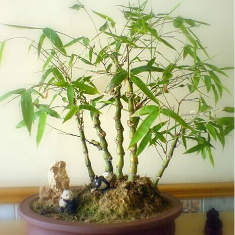 Indoor courtyard potted flowers potted foliage plants佛竹also known as the buddha belly bamboo lohan bamboo bamboo bonsai