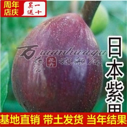 [Japan purple fig fruit] balcony patio potted fruit tree seedlings planted seedlings potted seedlings planted in northern south easily into Live