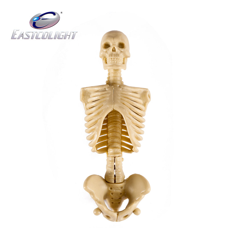 china human skeleton model, china human skeleton model shopping, Skeleton