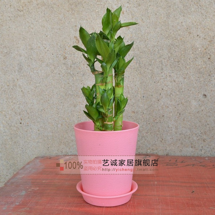 Lotus lotus bamboo lucky bamboo potted soil culture hydroponic indoor potted plants purify the air radiation