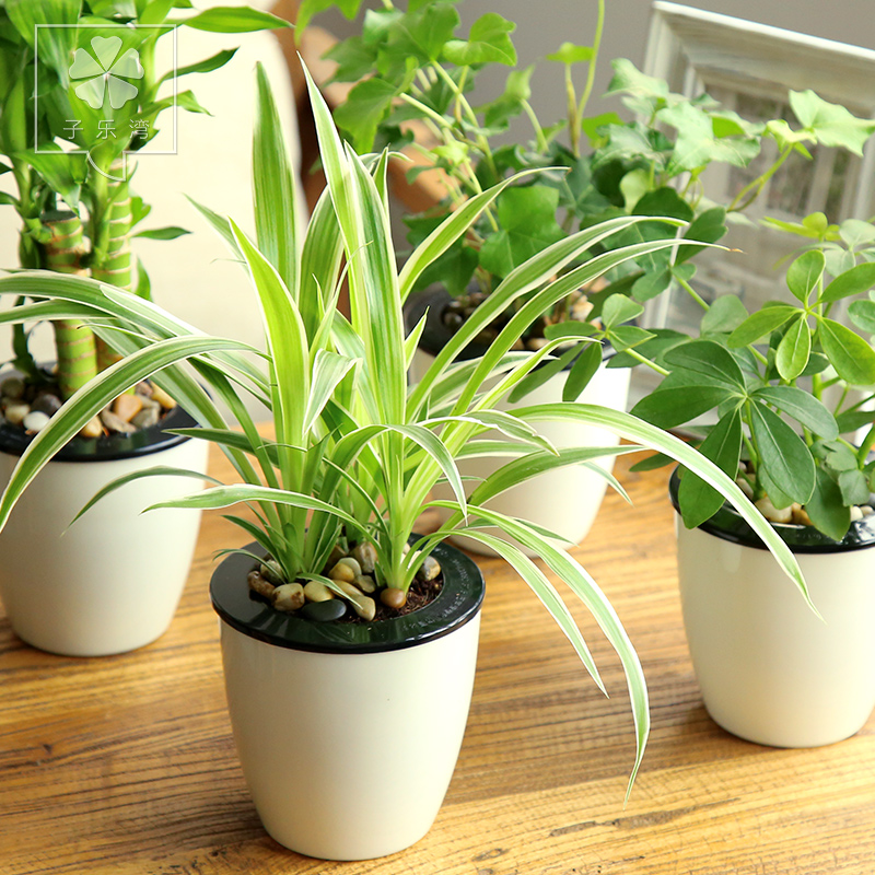 Lucky bamboo hydroponic plants ivy spider flower potted plants absorb formaldehyde office plants green plants bonsai