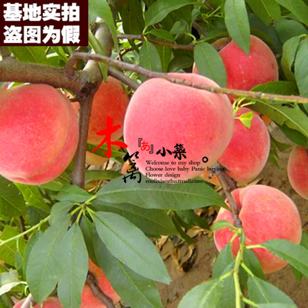 [New] potted fruit tree seedlings planted seedlings potted kawanakajima 15 peach tree seedlings nectarine peach seedlings grafted seedlings when the water