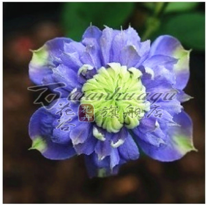 [Orchid] clematis species clematis root seedlings courtyard balcony climbing climbing plants flower flowers absorb formaldehyde