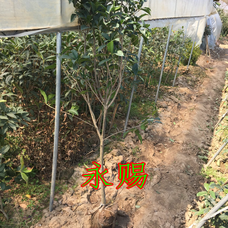 Osmanthus fragrans osmanthus trees osmanthus flower cecectomized ten fragrance garden flowers blooming flowers in autumn 5CM crude flowering seedlings