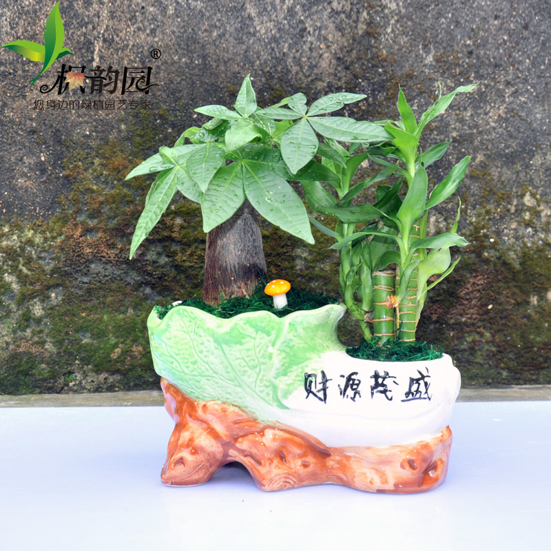 Pachira lucky bamboo steadily high lazy desktop bonsai plants potted indoor plants flowers