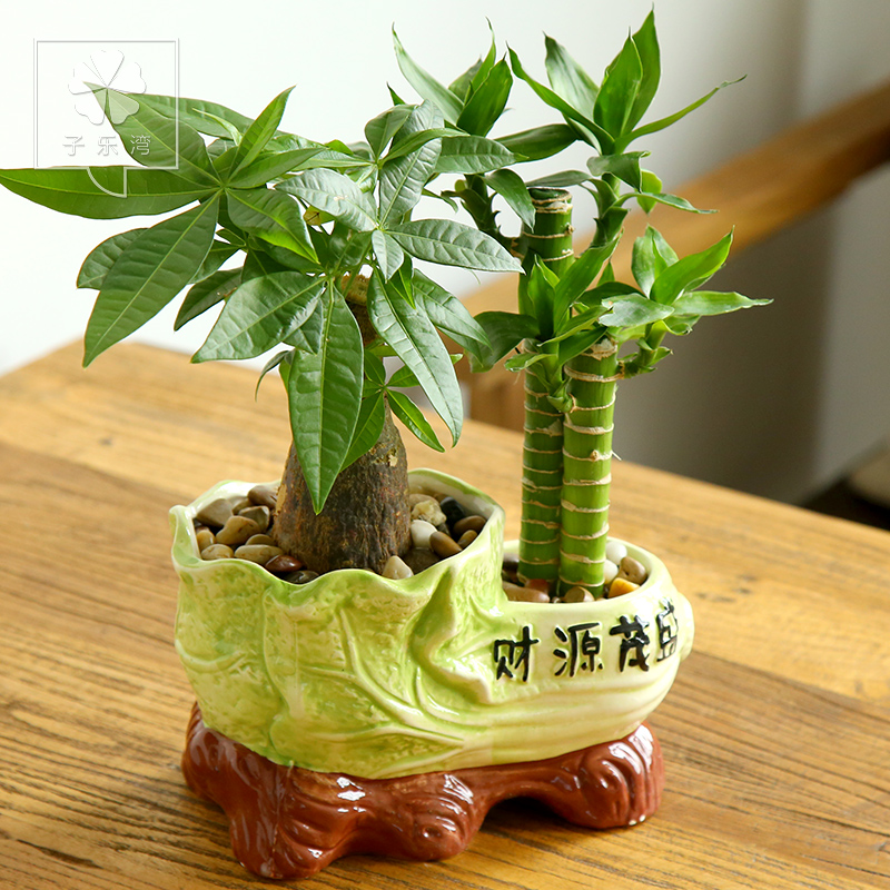 Pachira potted plants transport bamboo lucky bamboo lucky bamboo office potted plants green plants bonsai