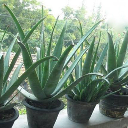 Potted aloe vera aloe vera beauty edible aloe vera aloe vera seedlings