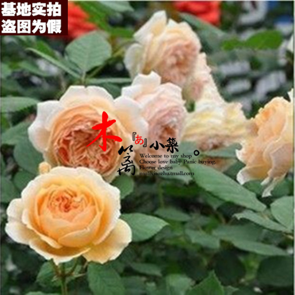 Prince [16] europe month fujimoto rose seedlings potted creepers climbing rose rose seedlings to load