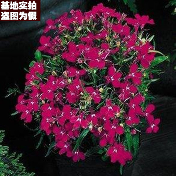 [Red enchantress 16] europe month fujimoto rose seedlings potted creepers climbing rose rose seedlings to load