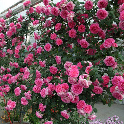 Rosa multiflora rose seedlings five years seedlings courtyard balcony potted plants rose roses climbing rose seedlings flowering seasons