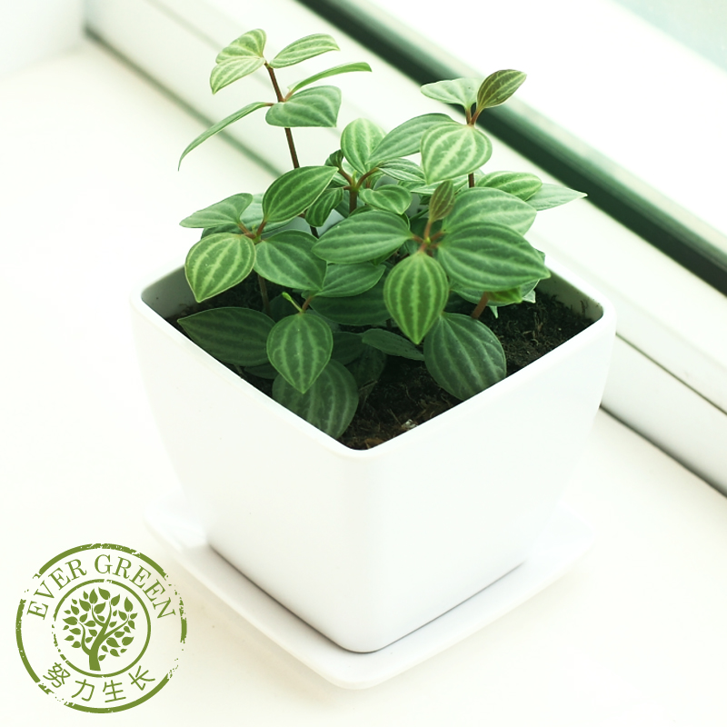 Round leaf watercress greenish white vein-type pepper grass plants potted flower plants living room indoor bonsai plants foliage plants