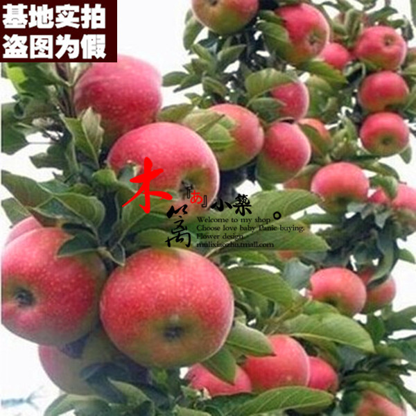 [Runtai one apple] potted/fruit tree seedlings planted columnar apple seedlings grafted apple seedlings when the knot