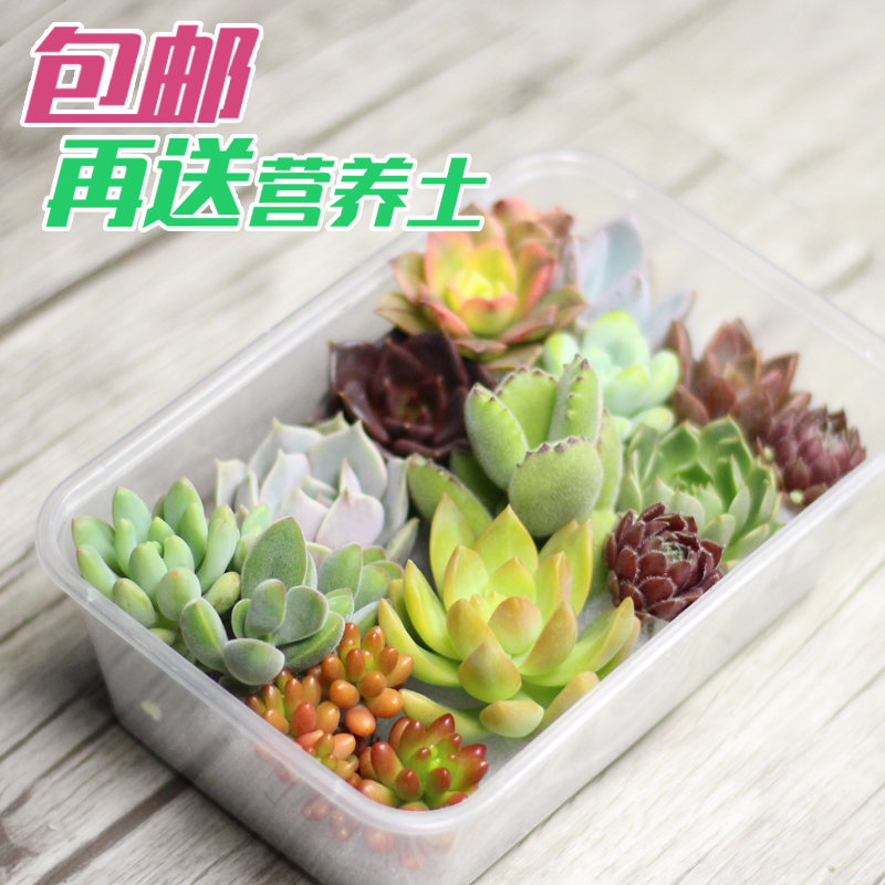 Snack box combination of potted succulents more meat and more meat and more meat and more meat combination fleshy plant green planting more meat pots More buns post