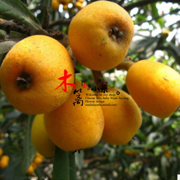 [Star] loquat loquat fruit tree seedlings baisha pipa pipa tree trees flower seedlings garden plants