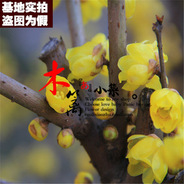 [Susan wintersweet boutique 16] when flowering plum seedlings potted fruit tree seedlings planted courtyard balcony