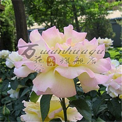 [Sweet] climbing climbing rose seedlings flower garden balcony potted plant matter of flowering seasons easy to survive