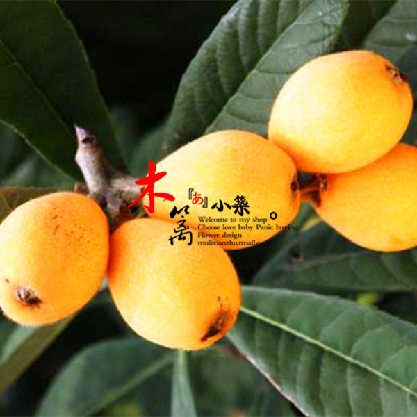 [Topaz] loquat loquat loquat fruit tree seedlings baisha pipa pipa tree trees flower seedlings garden plants