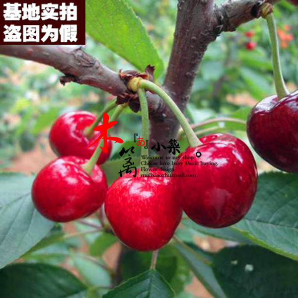 [Us as early as 15] potted planted cherries cherry cherry seedlings grafted seedlings when the knot plantlet suitable for the country