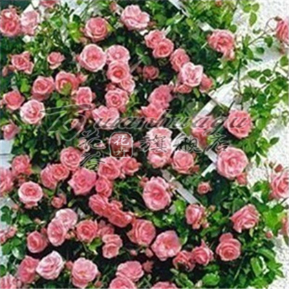 [Western] lianas climbing rose seedlings flower garden balcony potted plants flowering seasons cycle