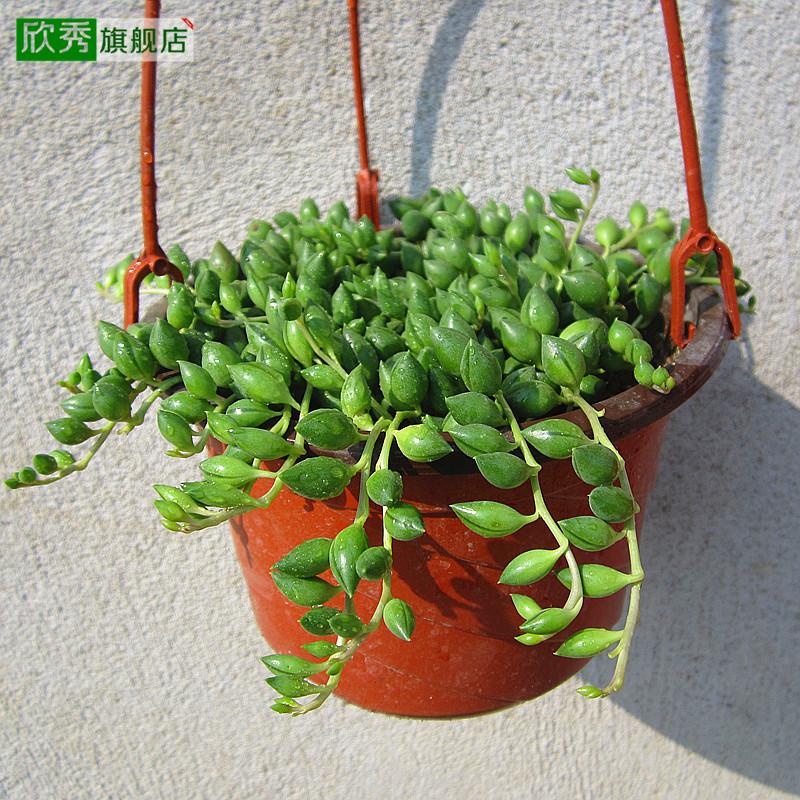 Yan xiu pearl beads spider 1.2 yuan per plant succulents potted flowers radiation absorbing formaldehyde