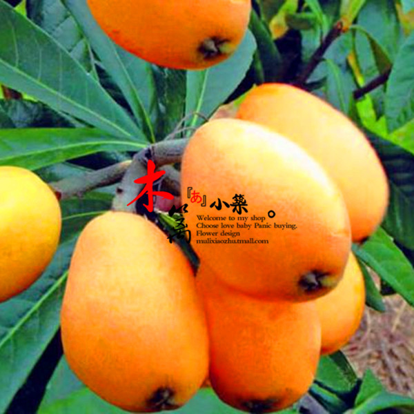 [Yunnan] loquat loquat loquat fruit tree seedlings baisha pipa pipa tree trees flower seedlings garden plants