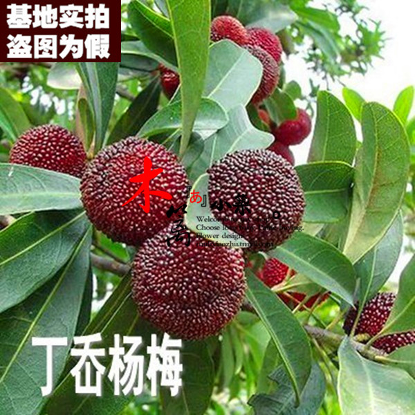 [15] bayberry bayberry ding'ao seedlings dongkui seedlings potted fruit tree seedlings planted courtyard potted plants with soil Delivery of