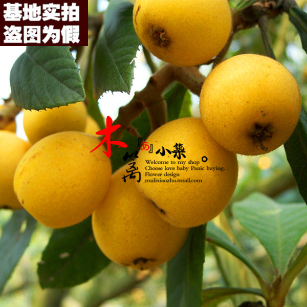 [15] loquat sweet star loquat loquat seedlings baisha pipa pipa tree trees flower seedlings garden plants